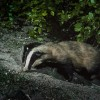 Why a badger cull won't work