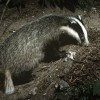 Get badger vaccination out of the toolbox and use it