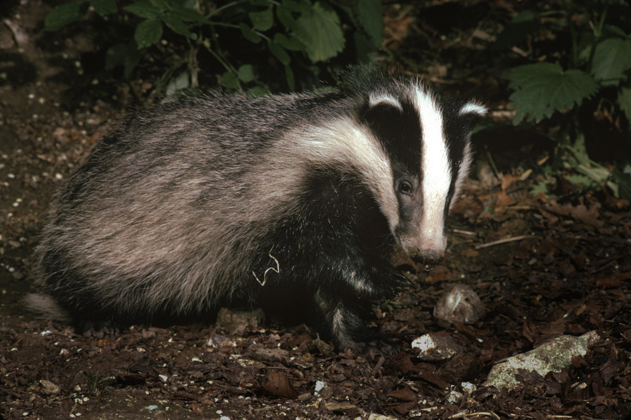 important badger essay In the election last week, having been deemed the most important of a lifetime,  despite insurmountable attempts to reach out to voters, a mere.