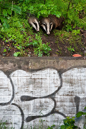 Badger looking over wall - 2