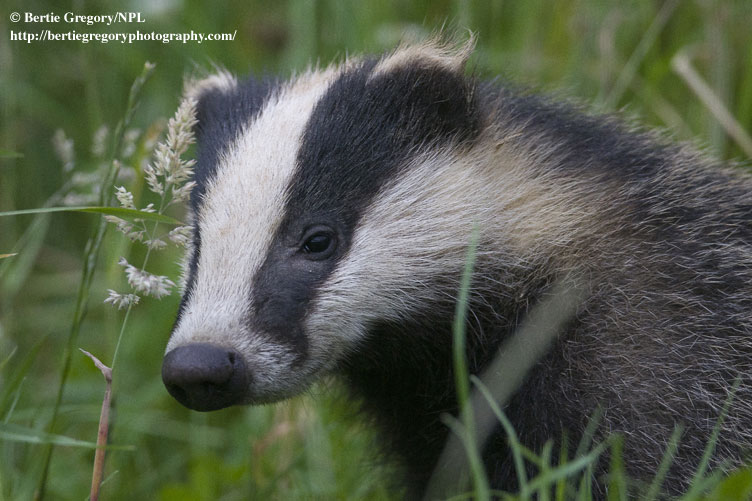 Badger in Grass, Bertie Gregory/NPL