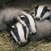 Gassing badgers: Science vs. Royals