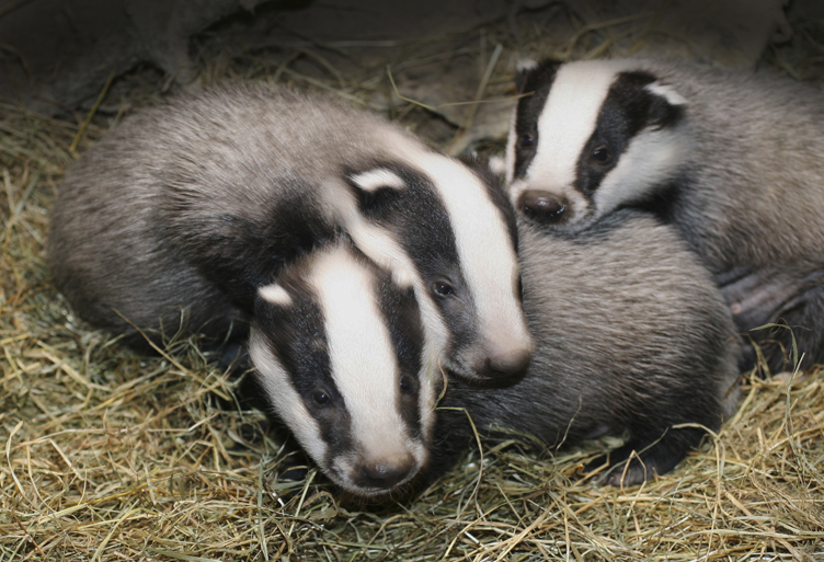 Badgers - a bundle of babies